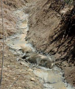 I fenomeni vulcanici vicino Roma - animali morti presso la caldara di Palidoro