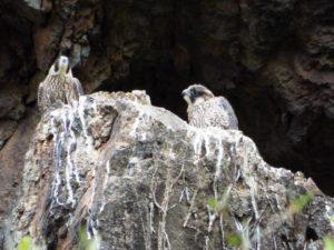 """Luoghi segreti e animali: """"pulcini"""" di falco pellegrino presso Cerveteri"""