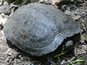 Luoghi segreti e animali: tartaruga presso il fosso degli Olmetti nel parco di Veio